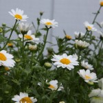Winter-Blooming Paludosum Daisies