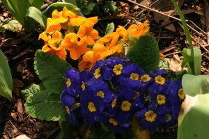 cheerful-primroses