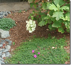 NCG Heterocentron filling in around Oakleaf Hydrangea