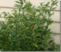 Sarcococca berry