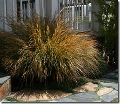 Stipa arundinacea - New Zealand Wind Grass