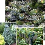 Cheerful Conifers: Some Year-Round Stars (With Photos)