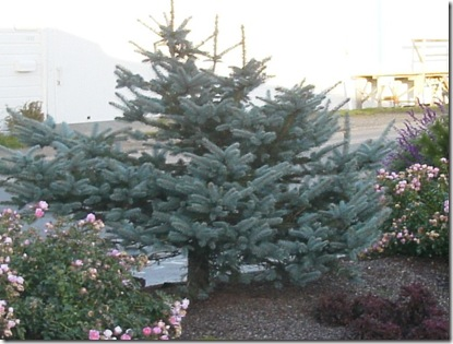 Blue Spruce with Flower Carpet Rose