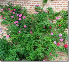 Climbing Rose Wall by Linda N.