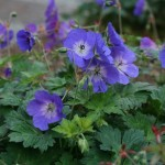 How to Prune Your Hardy Geranium or Cranesbill (Or: Ode to 'Rozanne') (Video Tutorial)