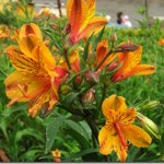 I Love Alstroemeria! And: A Cool Trick For Pruning Them (Video Tutorial)