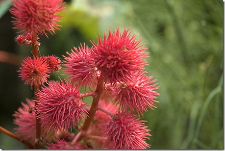 Castor Bean Plant photo by Pro-Zak on Flickr