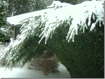Conifers Bent Under Weight of Snow photo by rynosoft