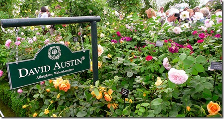 David Austin Roses photo by Wolfiewolf on flickr