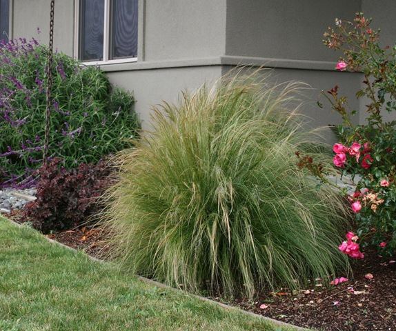 Pruning ornamental grasses in the pacific northwest for Tall feather grass