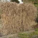 Ornamental Grasses: How to Prune Miscanthus, Stipa, and More