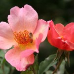 Disease-Resistant Roses for the Pacific Northwest