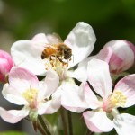 Educated Consumers Score a Big Win for Honeybees – With Thanks to Skagit Gardens