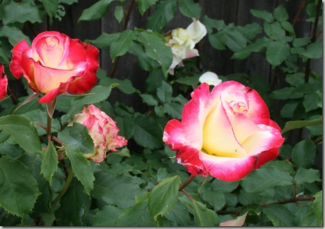 Post image for How to Treat Rose and Flower Pests Naturally: Intro