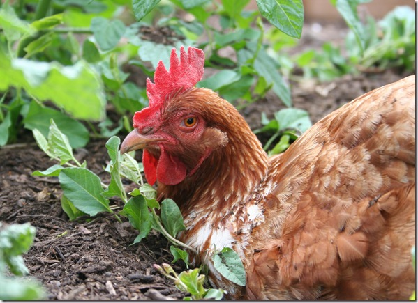 Post image for Backyard Chickens – Five Reasons You MUST Try Them, and Two Reasons Why Not