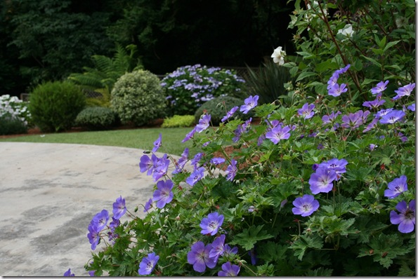 Geranium 'Rozanne' in forground highlighting the Lacecap Hydrangea