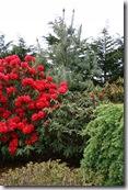 Post image for Rhododendrons – Little-Known Favorites for Winter