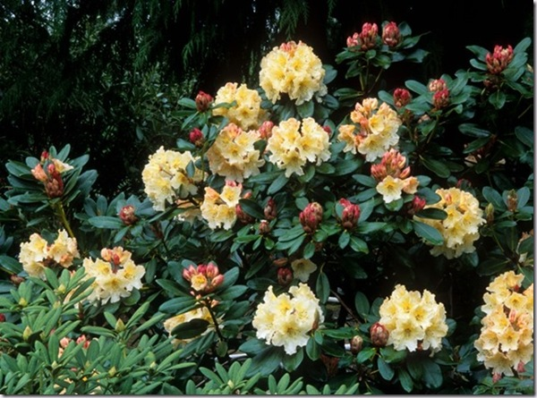 Post image for How to Kill Thrips Organically on Rhododendrons and Other Plants