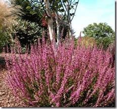 Calluna vulgaris 'Roswitha' Bud Bloomer Sept-Dec Pink