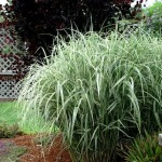 How to prune a flopping grass in summer