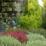 Fall blooming heather varieties for the autumn garden