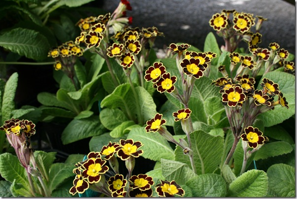 Primula polyantha 'Gold Lace Black'