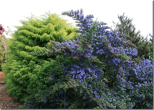 Ceanothus and Cryptomeria