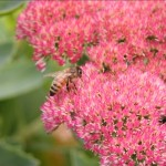How to prune Sedum 'Autumn Joy'