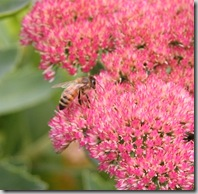 Post image for How to Prune Sedum 'Autumn Joy' (Video Tutorial)