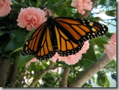 Monarch on a Carnation photo by audreyjm529 on Flickr via CC Attribution license