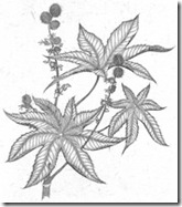 Castor Bean Etching by Briony Morrow-Cribbs from Wicked Plants