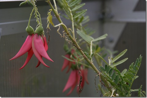 Clianthus puniceus salmon form