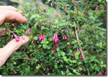 Fuchsia thymifolia close up