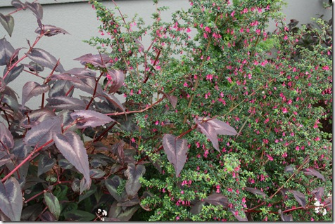 Fuchsia thymifolia with Persicaria 'Red Dragon'