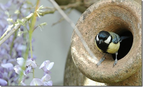 Great Tit near Wisteria Plant Photo by frielp on Flickr via CC Attribution license