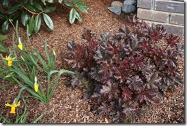 Heuchera 'Crimson Curls' in garden