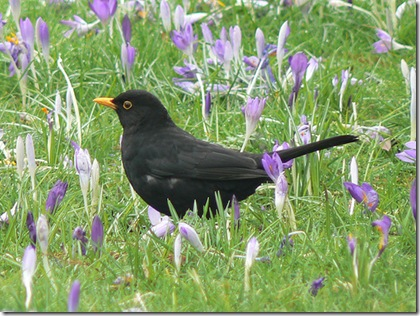 Blackbird in Crocus photo by Neil Phillips on Flickr