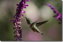 Hummingbird on Salvia leucantha photo by Kjunstorm on Flickr via CC Attribution License