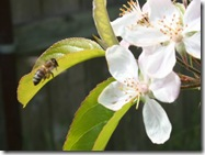 Happy honeybee on apple blossom