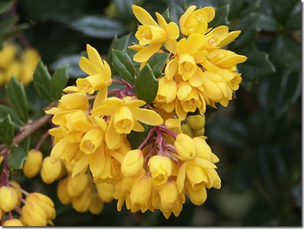 Berberis darwinii photo by scott.zona on Flickr via CC Attribution License