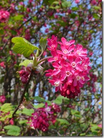 Ribes sanguineum photo by Smoobs on Flickr via Creative Commons Attribution License
