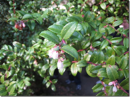 Evergreen Huckleberry photo by nautical2K on Flickr