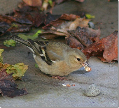 Female Chaffinch (British) photo by foxypar4 on Flickr via CC Attribution License