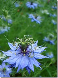 Nigella damascena photo by Aussiegall on Flickr via CC Attribution License
