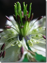 Nigella damascena photo by Tanakawho on Flickr via CC Attribution License