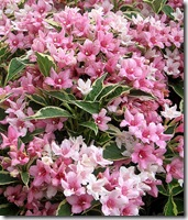 Variegated Weigela photo by crabchick on Flickr via CC Attribution License