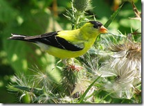 American Goldfinch photo by wsweet321 on Flickr