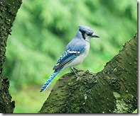 Bluejay photo by shaferlens on Flickr