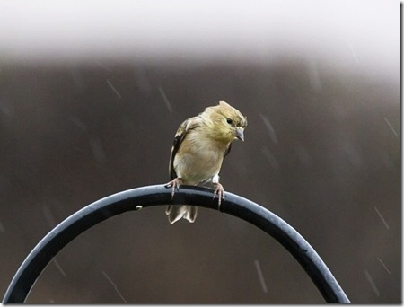 Female Goldfinch photo by KevinCole on Flickr
