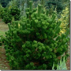 Pinus thunbergii 'Banshoho' from Singing Trees Gardens